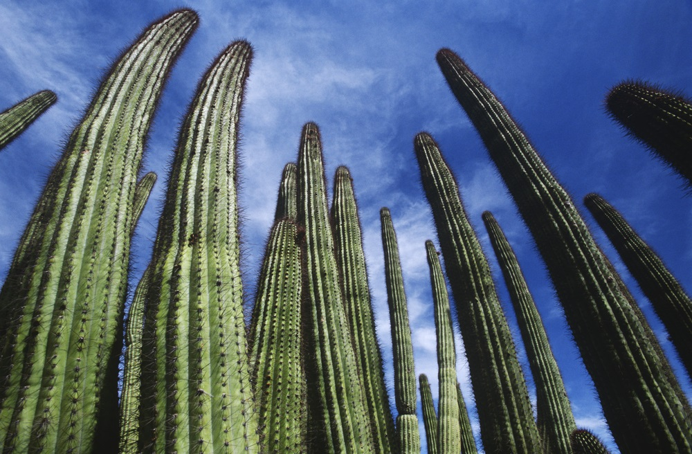 organ_pipe_cactus_national_monument