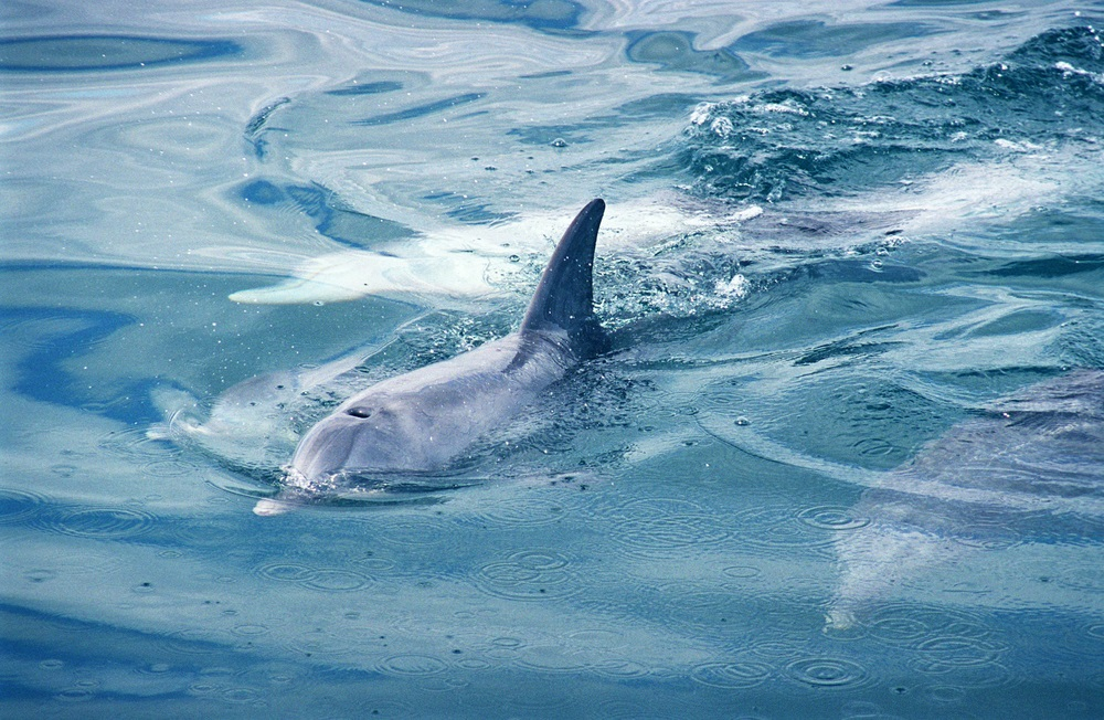 dolphins_rockingham_australia
