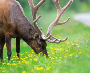 Elk grazing in Banff