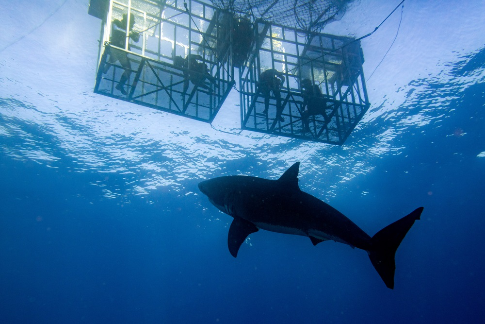 great_white_cage_diving_australia
