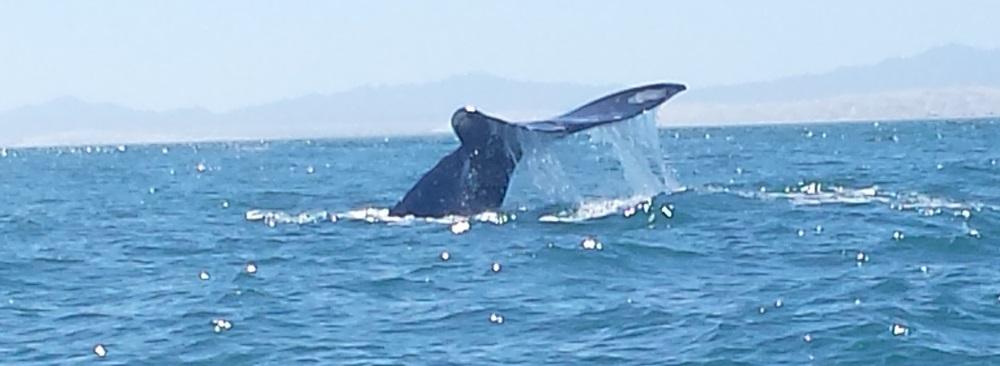 gray_whale_baja
