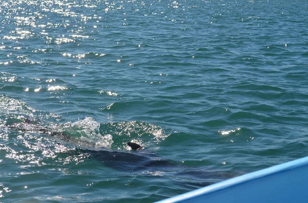 dolphin_baja
