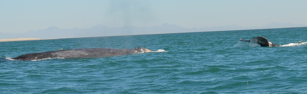 grey_whales