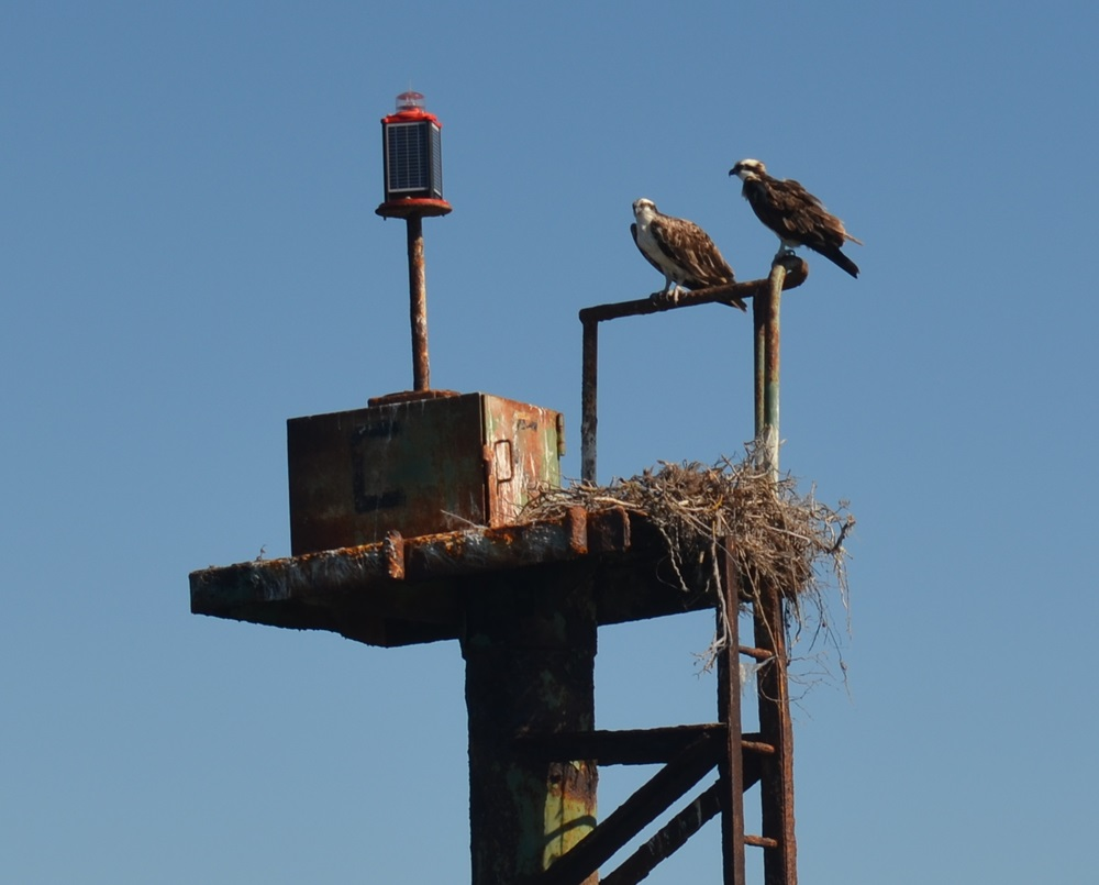 osprey_nest_baja