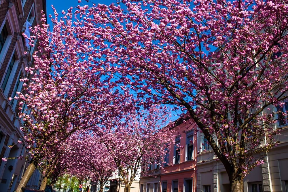 cherry_blossoms_bonn_germany
