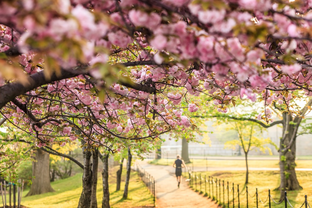 jogger_cherry_blossoms_washington_dc