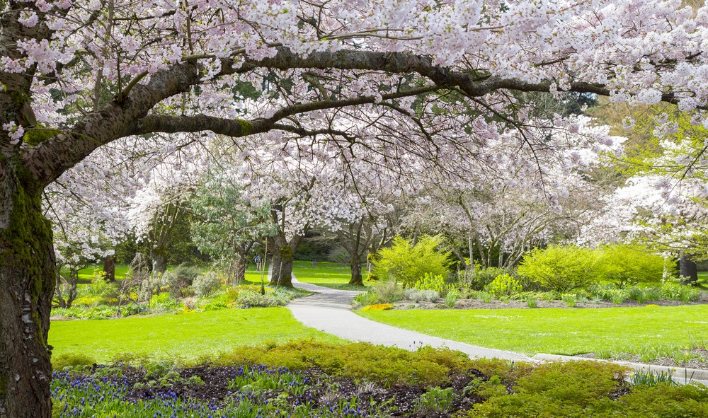 vancouver_cherry_blossoms