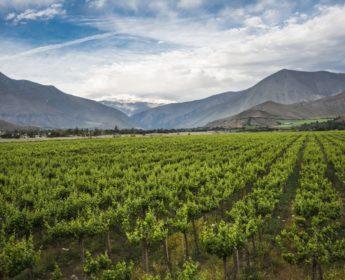 Lush vineyard in Elqui Valley