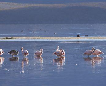 Chileans flamingos