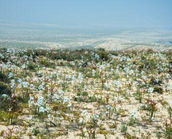 Flowering desert in southern Atacama