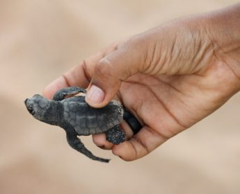Sea turtle hatchling near Praia do Forte