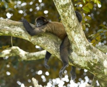 Spider monkey in Arenal National Park