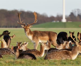 Herd of deer in Phoenix Park