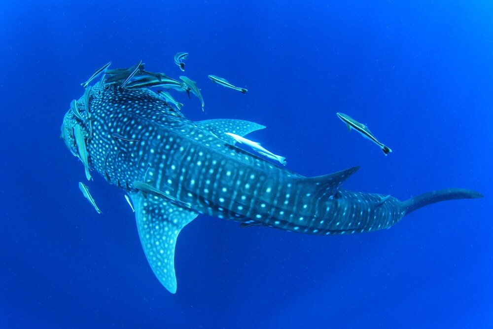 Diving with Whale Sharks in Ningarloo Reef